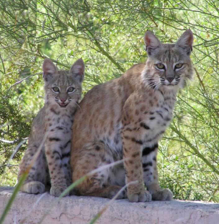 Family of bobcats on Karen's back wall