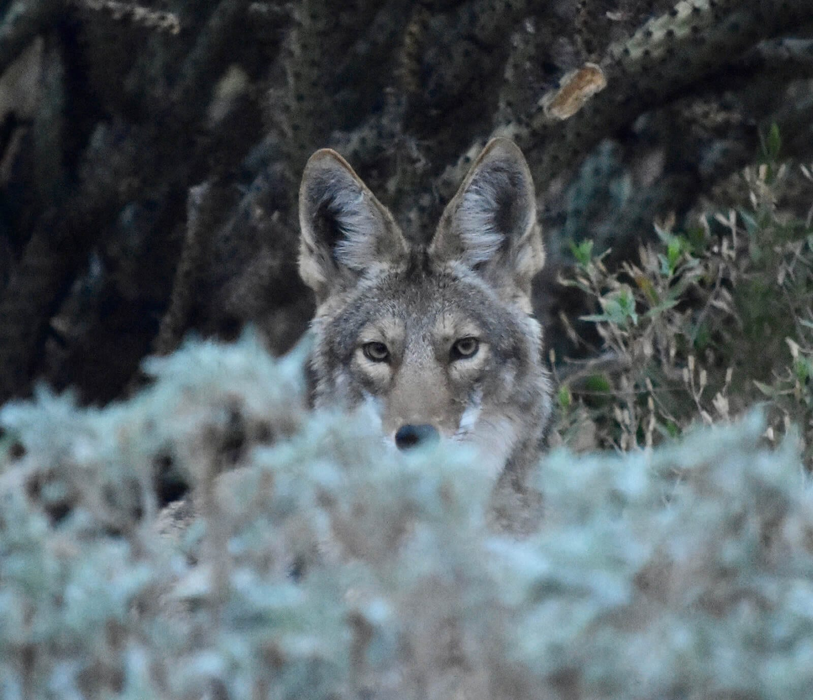 Coyote in Karen's front yard